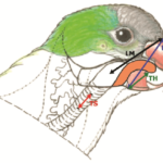 Why and How parrots Talk