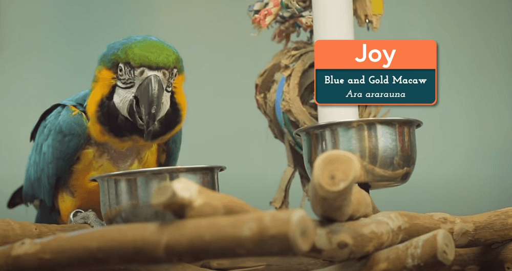 blue and gold macaw room