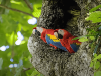 macaw breeding