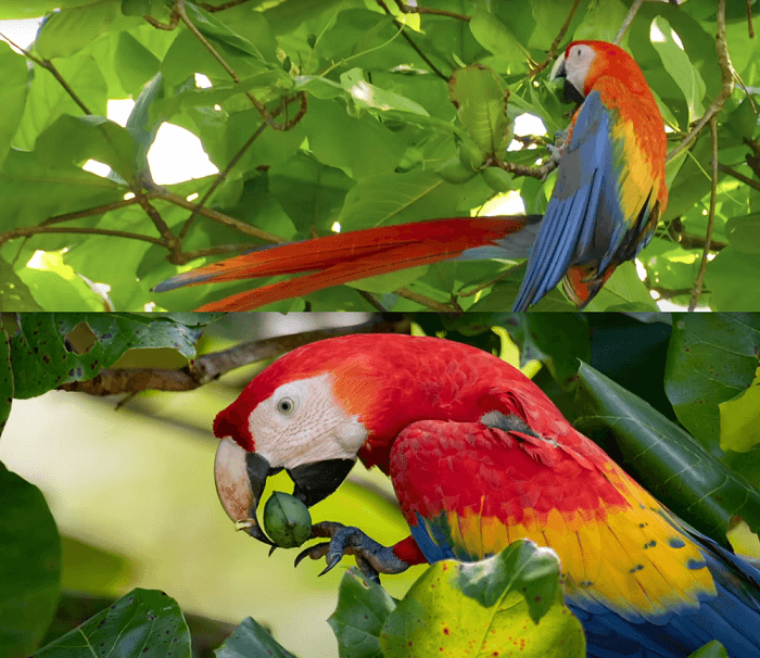 macaw parrot life