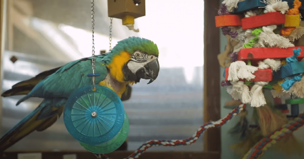 macaw parrot room toys