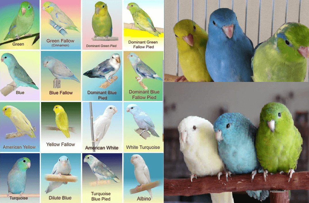 parrotlet colors