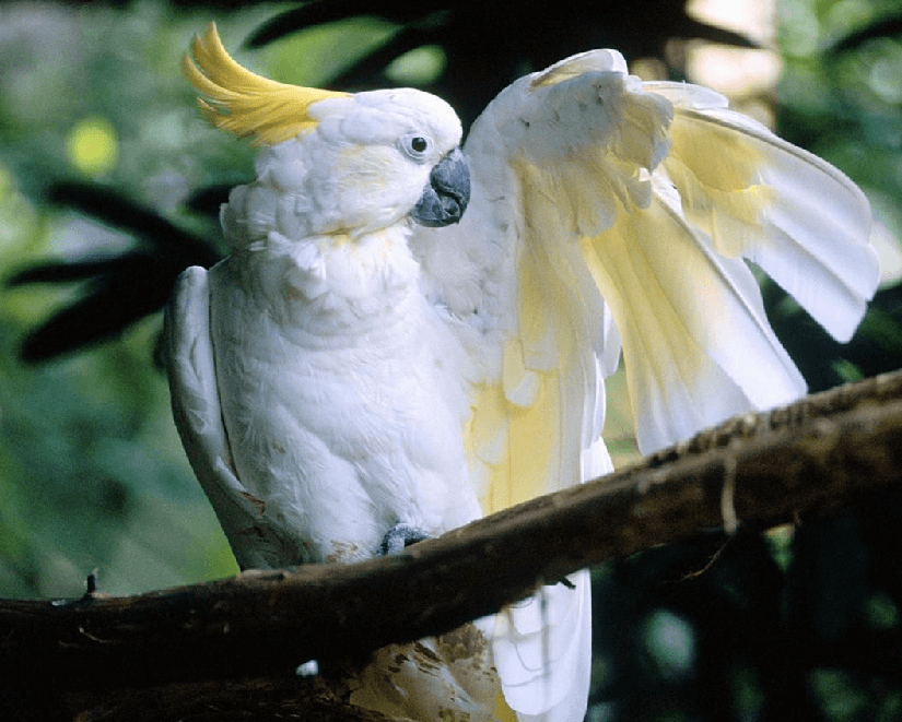 Image result for double yellow headed cockatoo
