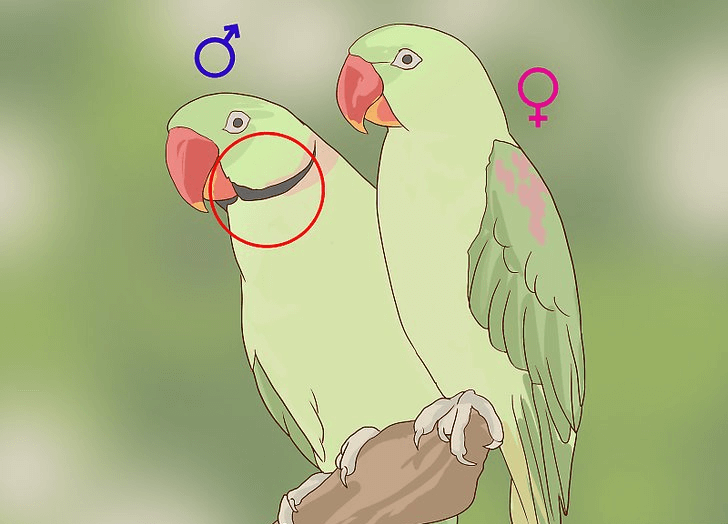 Determine the sex of a ring-necked parakeet