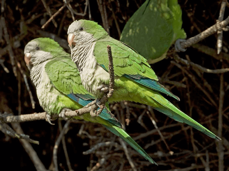 Learn to distinguish a male widowed conure from a female.