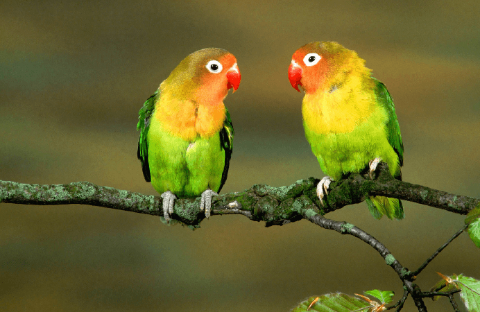 Lovebird behavior