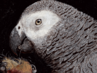 African grey painting