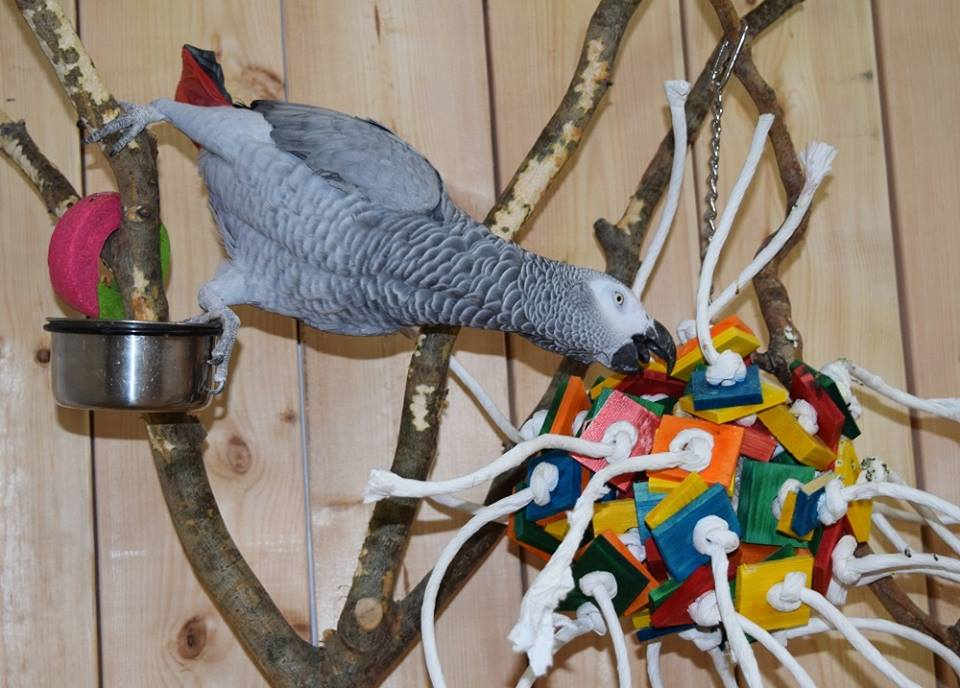 Arrangement of the interior aviary of african parrot