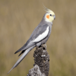 Cockatiel Nymphicus hollandicus