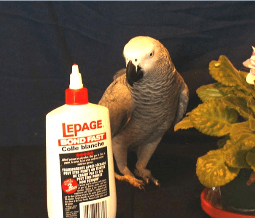 Glues and toys for parrots