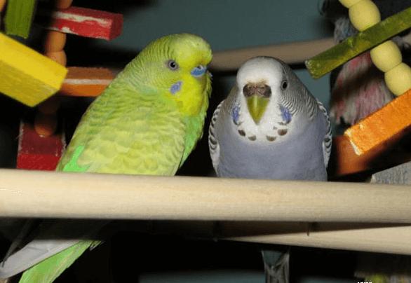 Goiter in the parakeet