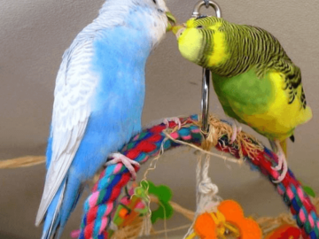 Improve the daily life of budgerigars