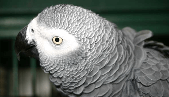 Ivermectin and the parrot