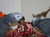 Pomegranate for African Grey