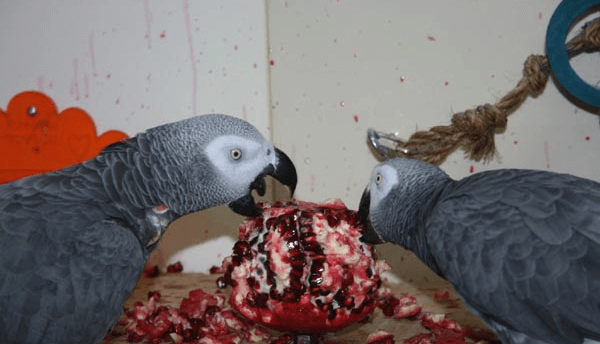 Pomegranate for African Grey Parrot