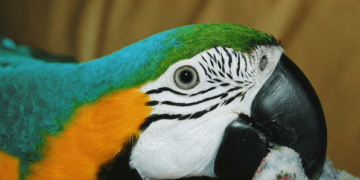 Prepuberty and its upheavals for parrot