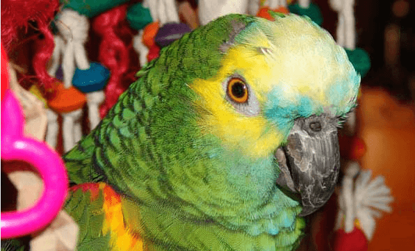 Romance and sexuality of parrots