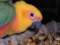 Sprouting or Germinating Seeds for Your parrot