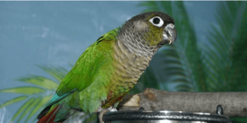 The Green-cheeked Parakeet the most complete of small parrots