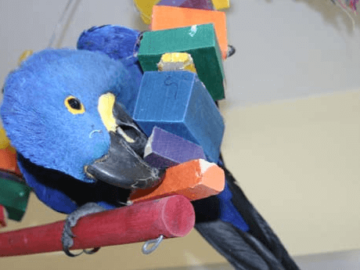 The favorite toys of parrots
