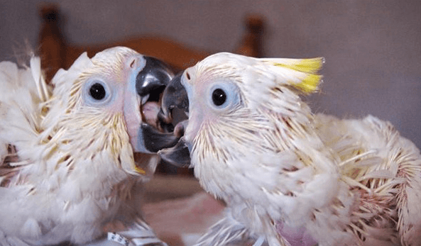 The importance of good socialization in the young parrot