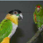 The innate, the acquired and the parrot