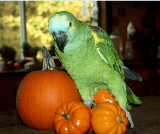 The pumpkin, to combine with the more-than-perfect of parrot