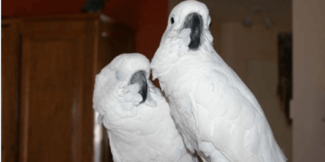 The temperament and personality of the parrot