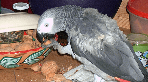 beack of parrot