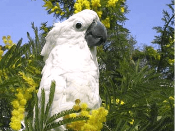 Australian tea tree oil a danger for parrots