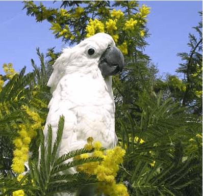 Australian tea tree oil a danger for parrots