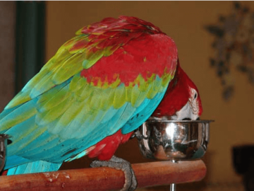 Bacterial contamination of parrot water