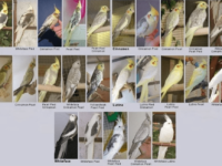 Cockatiel colors