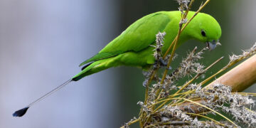 Green Racquet-tail of parrot
