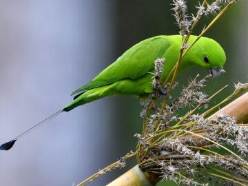 Green Racquet-tail of parrot