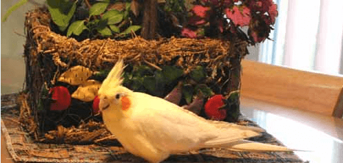 Little budgie and cockatiel health book