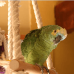 Recognize a sick or suffering parrot