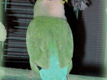 The risks of multi-species cohabitation of parrots