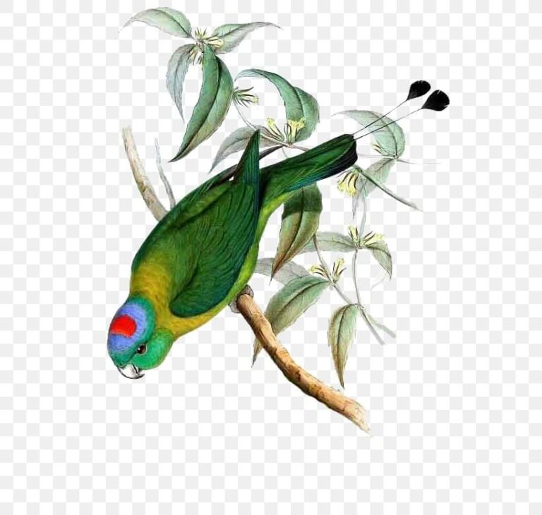 Yellow-breasted Racquet-tail