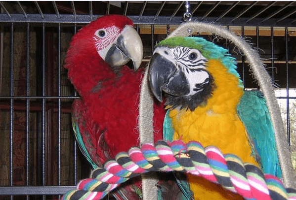 poisoning of parrots with toxic fumes