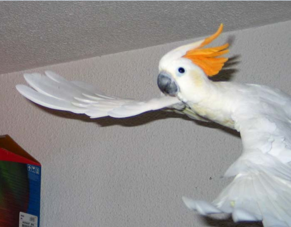 wings of parrot