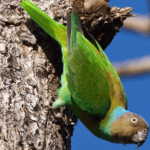 Red cheeked Parrot