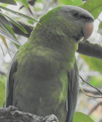 Black lored Parrot