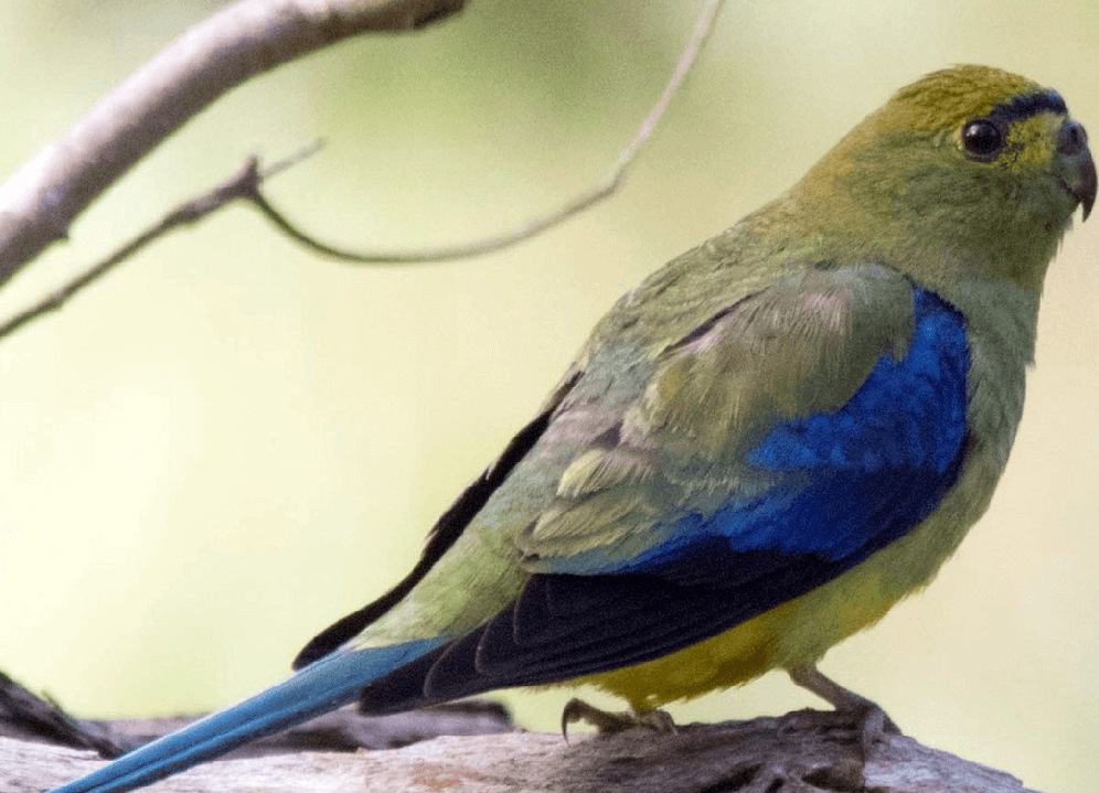 Blue winged Parrot