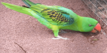 Great billed Parrot