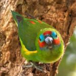 Double eyed Fig Parrots