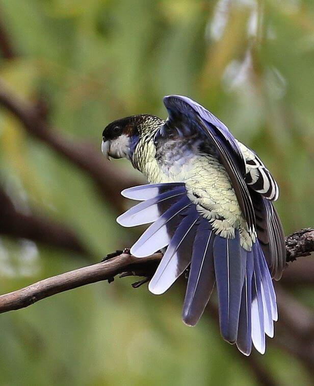 Northern Rosella parrot