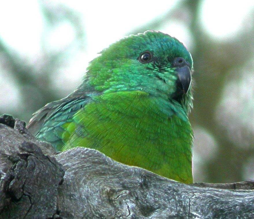 Parrot-Red-rumped