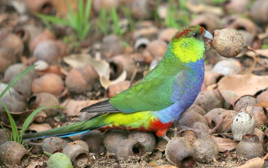 Red-capped-Parrot