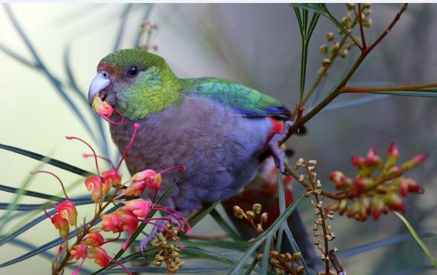 Red-capped Parrots